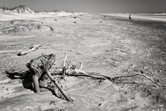 Black and white photo of beach in Florida with driftwood Stock Image