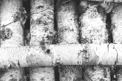 Black and white photo of birch logs Stock Images
