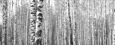 Black-and-white photo with birches Stock Photos