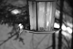 Black and White Bird on a Birdfeeder. Black and white photo of a bird hanging on a bird feeder with a blurred background Royalty Free Stock Photo