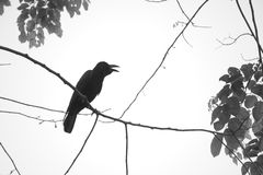 A black and white photo of a black crow perching itself on a thin tree branch, in a lush Thai garden park. stock photos