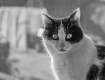 A black and white photo of a black and white cat with big eyes seats on a windowsill royalty free stock photo