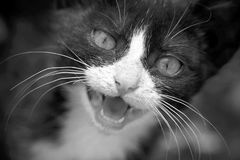 Black and white photo of black and white young cat. Meowing Royalty Free Stock Images