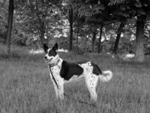 Black and white photo of Border Collie Dog in the woods. Photo of our pet named Scottie, a black and white Border Collie dog with a long leash and collar in the stock photography