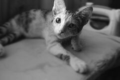 Black and White Photo of Cat Royalty Free Stock Photography