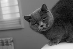 Black and white photo cat. Breed cat - British Shorthair. Sleek muzzle. Stock Images
