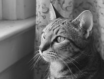 Black and white photo of a cat Royalty Free Stock Image