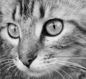 Black and white photo of a cat face close up stock images