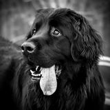 Happy black Newfoundland dog face with tongue hanging out. Black and white photo, close-up shot of the head of a black newfoundland dog. The cute dog`s eyes are stock photography
