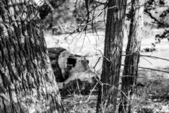 Black and white photo of a cut down tree by beavers stock photography