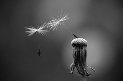 Black and white photo of dandelion seeds Stock Photography