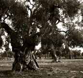 Old olive trees at a plantation in the Italian Apulia stock images