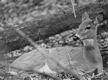 Black and white photo of a deer Stock Photos