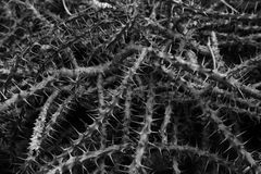 Black-and-white photo of the dense thickets spiny Euphorbia mili Royalty Free Stock Image