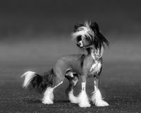 Black-and-white photo of dog. Chinese Crested Dog Breed. Royalty Free Stock Photography