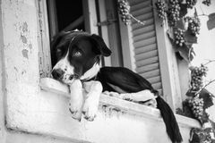 Black and white photo of a dog in the window. In rhe old city stock images