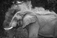 Black and white photo of an elephant dus bathing. A horizontal, black and white image of an African elephant, Loxodonta africana, dust bathing in the Greater royalty free stock images