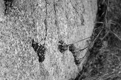 Black and white photo of a faded plant throwing a shadow on a rock Stock Photos