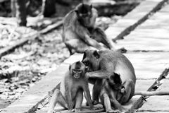 Monkey family cleaning each other royalty free stock images