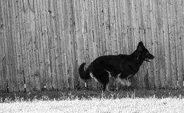 Black pure bred German Shepard running beside a wooden fence. Black and white photo of a female black German Shepard running beside her wooden fence in her Royalty Free Stock Photos