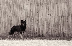 Black pure bred German Shepard standing at attention in front of a wooden fence. Black and white photo of a female black German Shepard standing alert in front Stock Photography
