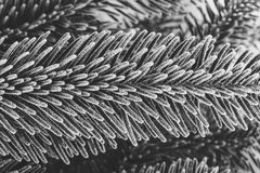 Black and white photo fir branches covered with frost close up. Winter background Royalty Free Stock Photos