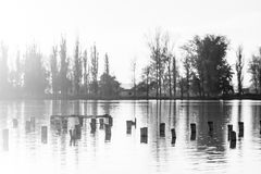 Black and white photo of flooded tree trunks from felled trees with reeds and vegetation. Black and white photo of flooded tree trunks from felled trees with Stock Images