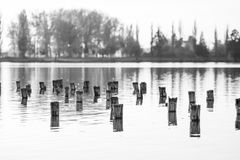 Black and white photo of flooded tree trunks from felled trees with reeds and vegetation. Black and white photo of flooded tree trunks from felled trees with Royalty Free Stock Photo