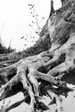 Black and white photo of flooded tree trunks from felled trees with reeds and vegetation. Black and white photo of flooded tree trunks from felled trees with Royalty Free Stock Images