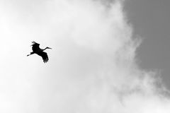 Black and white photo with flying stork Stock Images