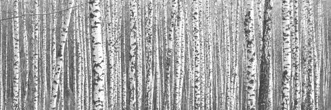 Black-and-white photo with birches Royalty Free Stock Images