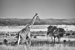 Black and white photo of a giraffe. Black and white landscape photo of a giraffe.The South African giraffe or Cape giraffe (Giraffa camelopardalis giraffa) is a Royalty Free Stock Photo