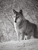 Black and white photo of a gray wolf. Gray wolf processed in black and white staring over the hill Stock Photo