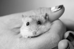 Black and white photo of hamster in a female hand Stock Photos