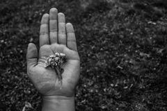 Black and white photo of hand holding flowers. Close up of a hand holding white flowers. Black and white photo with an unfocused background Royalty Free Stock Images