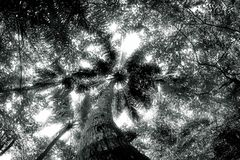 Black and white photo of a large coconut tree Royalty Free Stock Photos