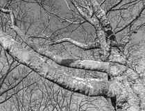 Black and white photo of leafless plane tree branches Stock Images