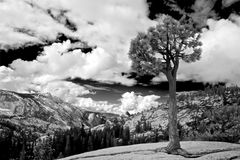 Olmsted Point Yosemite National Park Jeffrey Pine. Black and white photo of a lone Jeffrey Pine Tree at the famous vista Olmsted point in Yosemite National Park stock photography