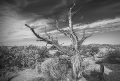 Black and white photo of lonely dead tree. Royalty Free Stock Images