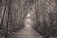 Black and white photo of mangrove forest with wood walkway bridge and leaves of tree. Stock Photos