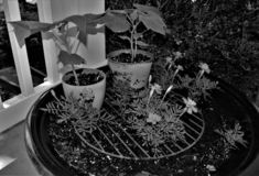 Black and White of Marigolds and Other Plants stock image