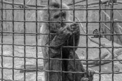 A black and white photo of a monkey stock images