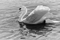 Black and white picture of a swan swimming in a river stock photography