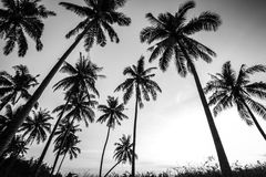 Black and white photo of palm trees