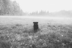 Black and white photo of a black pug, beautiful dog walking through the misty, foggy field toward the camera stock images