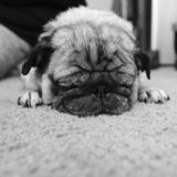 Black and white photo of a pug sleeping stock photo