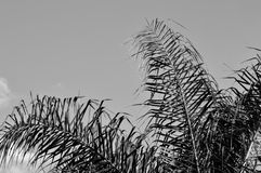 Black and white photo of a Queen palm's fronds Royalty Free Stock Images
