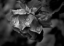 Black and white photo of a red rose and droplets. On a rainy day one afternoon stock images