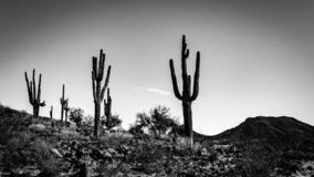 A black and white photo of saguaro cacti on the side of a hill in the Sonoran Desert. stock photography