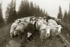 Black and white photo of sheep Royalty Free Stock Photo